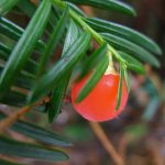 Bright red berry on stem of yew