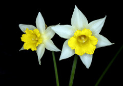 Two daffodils, with pale outer leaves, against a black background