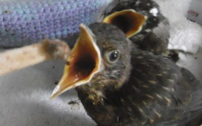 Young blackbird gaping to receive food on a stick in a wildlife rescue centre