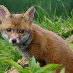fox cub sitting in the grass